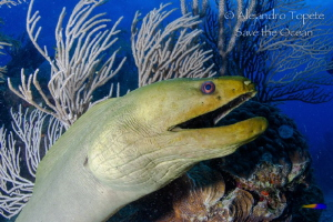 Green Morey in the Reef, San Pedro Belize by Alejandro Topete