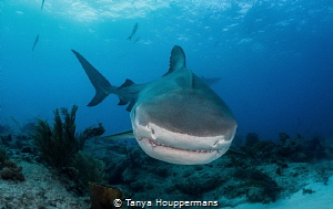 """Toothy Grin A tiger shark """"smiles"""" for the camera. by Tanya Houppermans"""