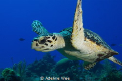 Young hawksbill turtle - Chilling and hanging out! by Adeline Wee