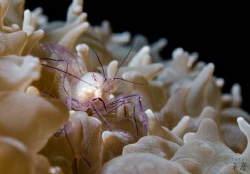 Bubble coral shrimp with eggs - Mayotte by Takma Lherminier