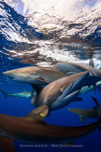 Silky Sharks - Gardens of the Queen by Joanna Lentini