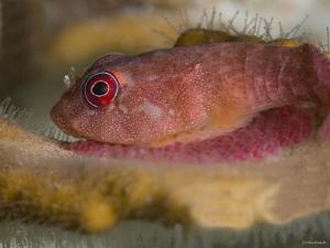 Red Clingfish Bonaire NA by John Roach