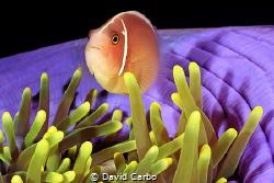 Clown fish in Sipadan Island by David Carbo