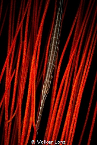 Trumpetfish in gorgonia by Volker Lonz