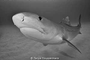Ethereal A graceful tiger shark appears to hover over th... by Tanya Houppermans