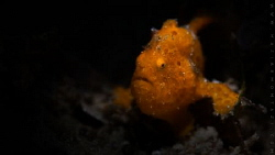 Painted Frogfish by Maziar Momtazi