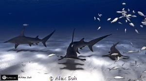 """""""3 Amigos"""" (2 Hammers & Nurse Shark) by Alex Suh"""