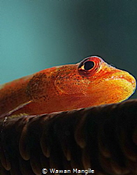Goby Fish by Wawan Mangile