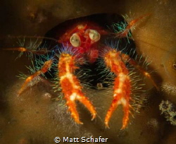 This tiny squat lobster really wanted his pic taken...I o... by Matt Schafer