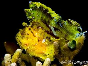 Leaf Scorpion Fish sitting proud.  by Jan Morton