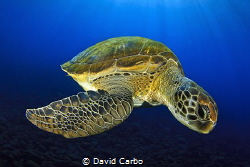 Green turtle by David Carbo