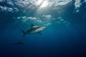 Caribbean reef sharks are patrolling water column in sear... by Dmitry Starostenkov
