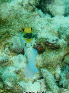 Yellowhead Jawfish. Spent some time and a number of dives... by J. Daniel Horovatin