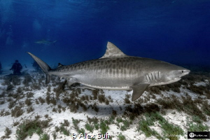 Tiger Shark Full Size by Alex Suh