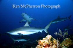 Rotan Shark Dive by Ken Mcpherson