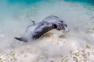 Eagle Ray Eating, Akumal Mexico by Alejandro Topete
