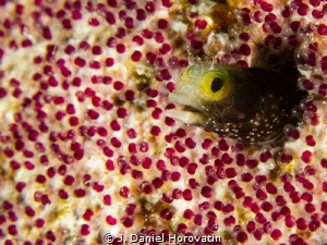 Spinyhead Blenny in a blanket of Sargent Major eggs. by J. Daniel Horovatin