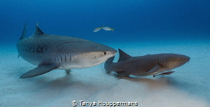 I've Got Your Back A tiger and nurse shark at Tiger Beac... by Tanya Houppermans