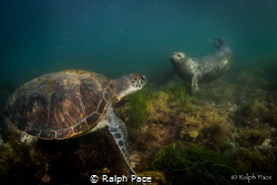 A curious harbor seal plays with a green turtle in San Di... by Ralph Pace