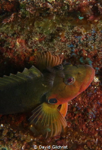Hairy Blenny species by David Gilchrist