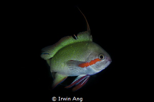 A G G R E S S I V E  Male Threadfin Anthias (Nemanthias ... by Irwin Ang