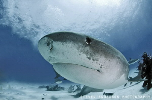Tiger Sharks like to get up close and personal in the Bah... by Steven Anderson
