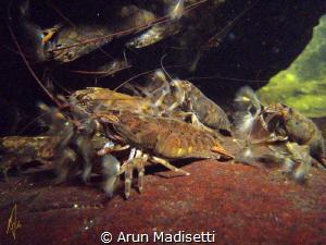 Banana shrimp in waterfall plunge pool by Arun Madisetti