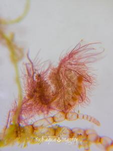 Pregnant Hairy Algae Shrimp - Full Frame with White Slate... by Jan Morton