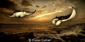 """""""Last Rays of the Day"""" Manta Rays are now listed as vulne... by Conor Culver"""