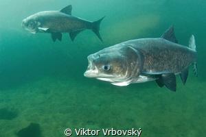 Bighead Carp by Viktor Vrbovský
