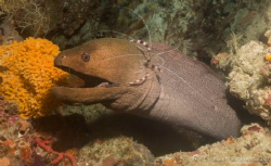Time for a clean- giant moray eel with a boxer shrimp. So... by Thomasin Lockwood