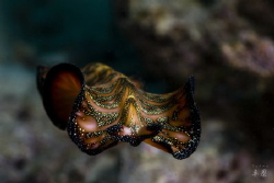 Flying persian carpet flatworm - Mayotte by Takma Lherminier