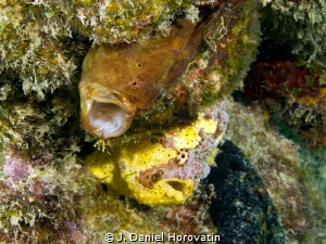 Two frogfish just hanging out. by J. Daniel Horovatin