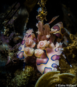 Harlequin shrimp in Lembeh today by Elaine Wallace