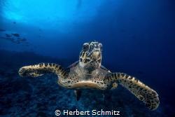 Smiling turtle.   Rangiora by Herbert Schmitz