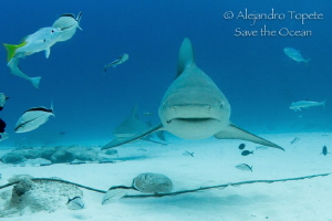 Bull Sharks in the Line, Playa del Carmen Mexico by Alejandro Topete