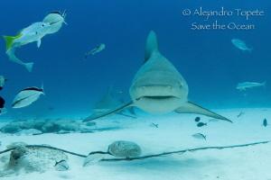 Bull Sharks in the Line, Playa del Carmen Mexico by Alejandro Topete