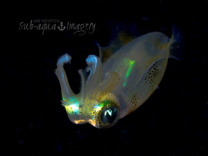 Free Swimming Squid on Night Dive