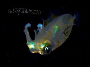 Free Swimming Squid on Night Dive Siquijor Island, Phili... by Jan Morton