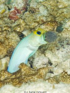 Male yellowhead jawfish aerating his batch of eggs. by J. Daniel Horovatin