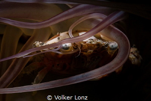 Harlequin crab in anemone tentacles by Volker Lonz