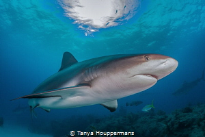 Golden Eye A Caribbean Reef Shark swims past a reef at T... by Tanya Houppermans