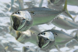Indian Mackerel pair by Paul Colley