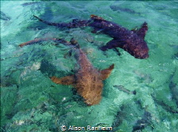 Nurse Sharks near Caye Caulker, Belize by Alison Ranheim