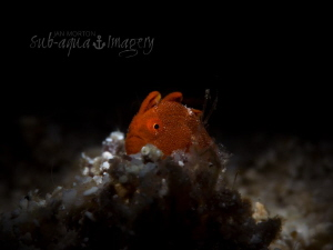 King of the Castle Single Juvenile Frogfish sitting on a... by Jan Morton