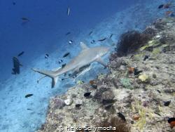 grey reef shark @ fish head (Maldives) by Heiko Schymocha