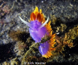 The king of his world. Spanish Shawl. by Kirk Wester