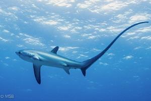 Thresher shark in Malapascua. by Mehmet Salih Bilal