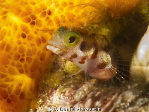 Secretary Blenny, with an eye out for a meal. by J. Daniel Horovatin