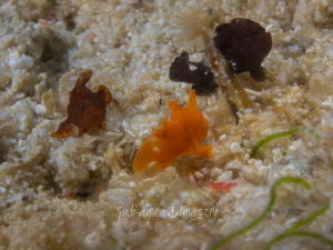 """""""Triple Play"""" - Three Juvenile Frogfish NOTE: The fish w... by Jan Morton"""